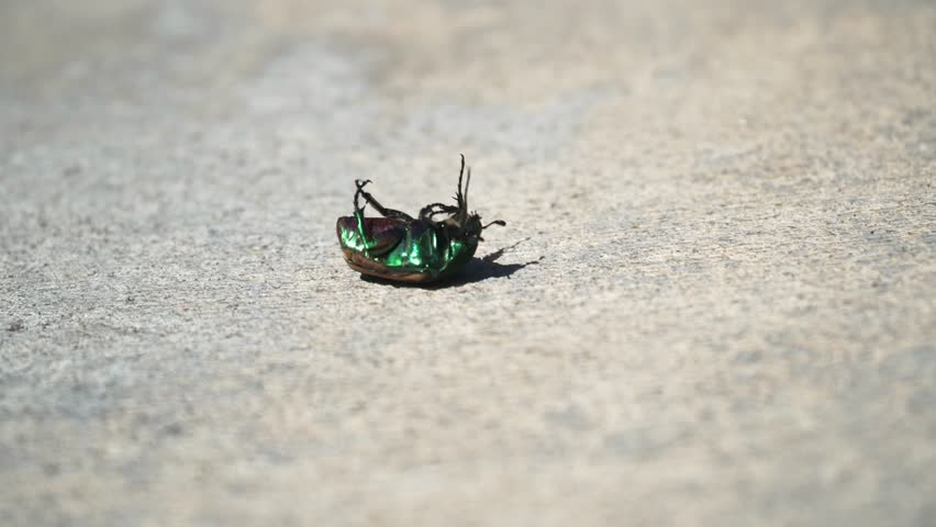 Green June Bug Lies On Its Back And Tries To Roll Over Close Up Of Southern California Figeater Beetle