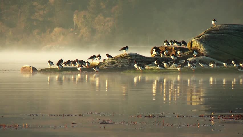 oystercatchers on rocks in early winter morning sun with mist.