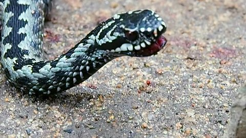 Wounded Vipera berus hisses. The venomous European Viper is close.