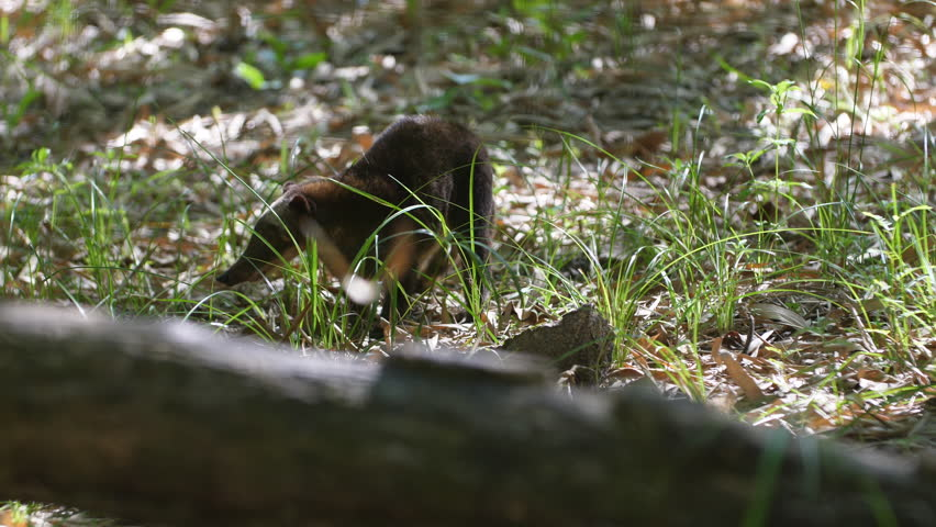 A coati in french Guiana day time