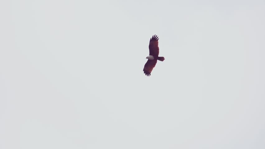Brahminy kite eagle with spreading red wings flying and soaring over big lake looking for prey ,hd slow motion low angle view. Bird of prey in flight, isolated in white background.