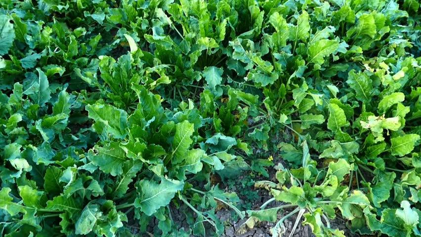 sugar beet field, close to harvest, sugar beet field,