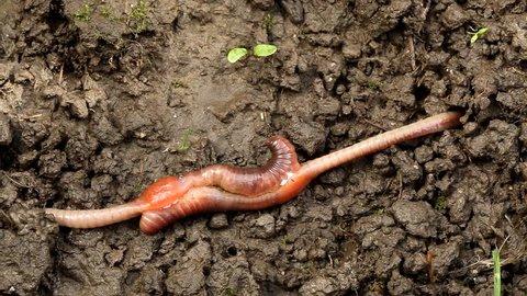 Earthworm mating, Lumbricus terrestris, Haplotaxida.  Carpathian Basin, Europe