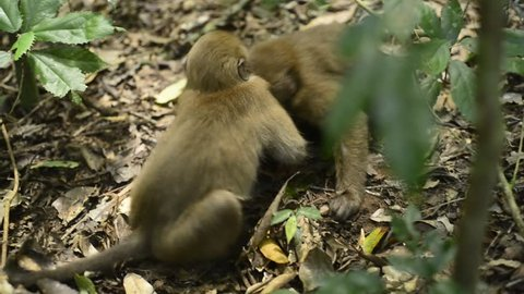 monkey play together in nature funny monkey