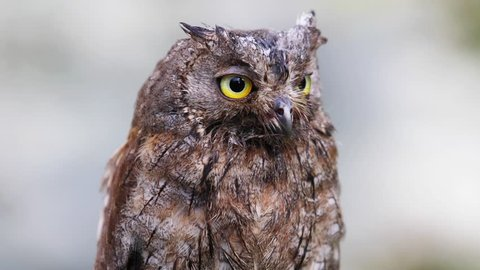 The owl sits on a branch and is frightened of something. Eurasian (European) scops owl  in its natural forest habitat, closeup