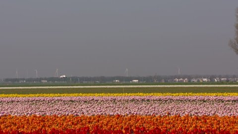 Colourful tulip bulbfields surround the airfield. Highway traffic, Polderbaan runway + incoming aircraft at horizon. SCHIPHOL AMSTERDAM AIRPORT is located in a Dutch polder below sea level. APRIL 2018