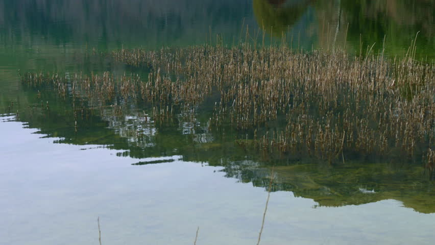 MS TU Reeds growing in lake Mondsee and wooden boathouse / Upper Austria, Austria