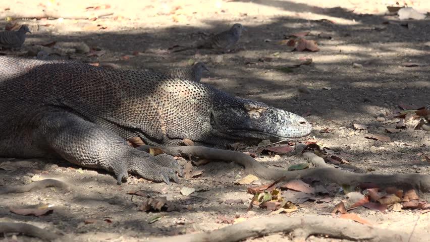 Komodo Dragon Lay On Ground Stock Footage Video (100% Royalty-free)  1017343708 | Shutterstock