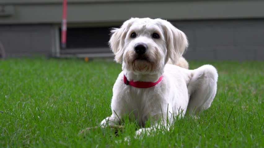 Front view close up of cute white dog laying on the grass with his toy. Goldendoodle looking into camera, than up and sideways. | Shutterstock HD Video #1017358738