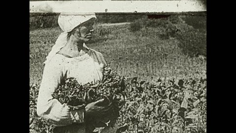 1930s: Women pick leaves to harvest crop. Woman lays down pile in basket. Woman carries crop with cloth.