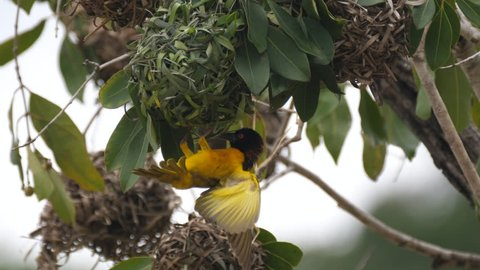 Close up from a male weaver bird and his nest in a tree around the Farako falls in Mali, Africa