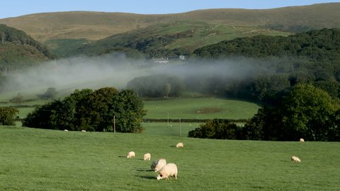 Sheep grazing in the early morning light with a valley mist laying low upon the green rolling hills in the south end of the Snowdonia National Park near the village of Pennal, Wales