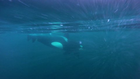 Pod of killer whales swimming near the surface, northern Norway.