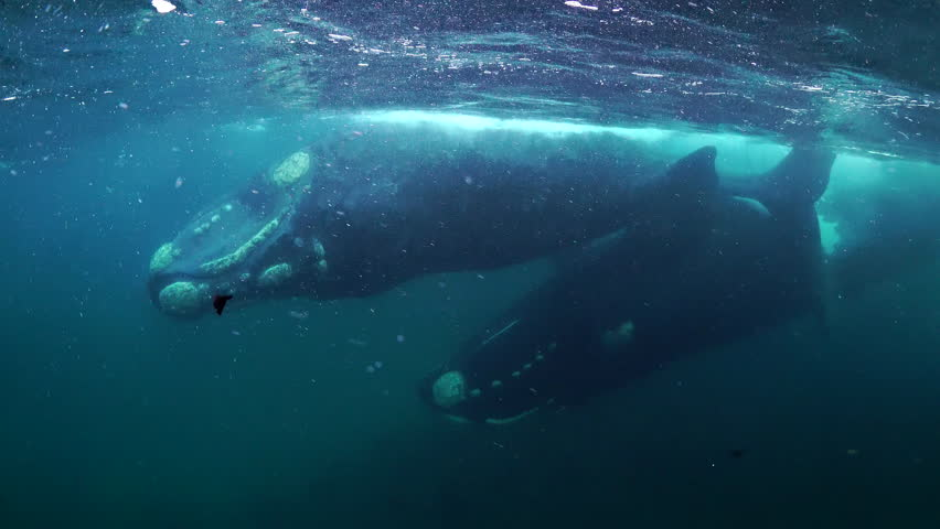 Two adult southern right whales mating,  Nuevo Gulf, Valdes Peninsula, Argentina. #1017838408
