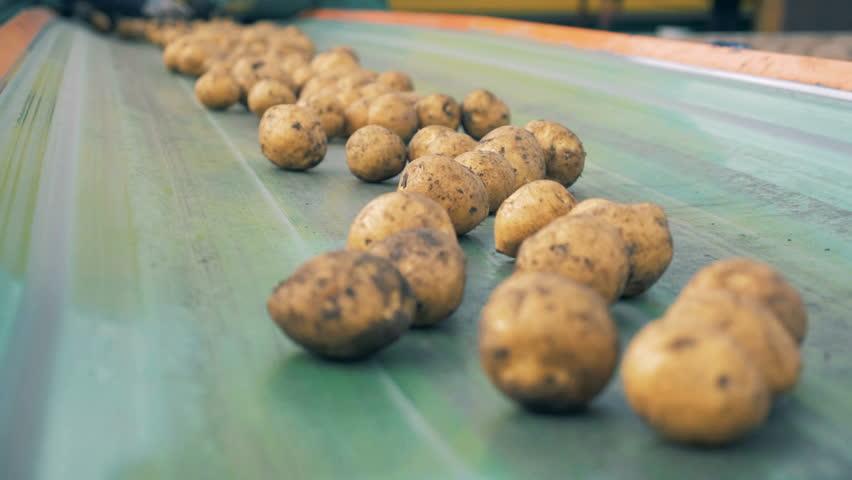 Transporter belt with plenty of potatoes moving along it. Harvesting concept. | Shutterstock HD Video #1018071928