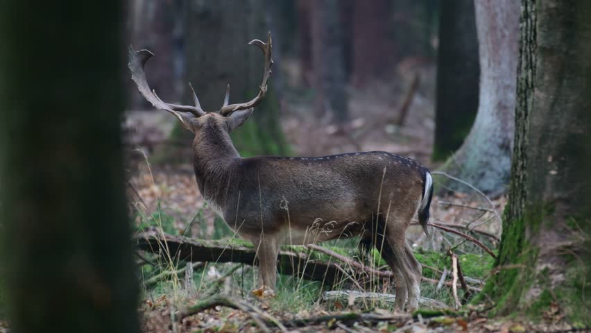 Fallow buck standing in the forest and look, mating time, autumn, (dama dama), germany  #1018144888