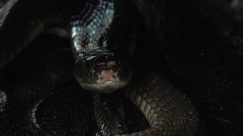 Black King Cobra Looking out of Snake Hole