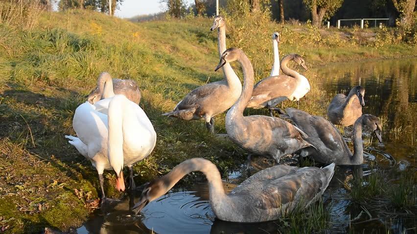Beautiful Swan bird in the pond, animal wildlife | Shutterstock HD Video #1018163518