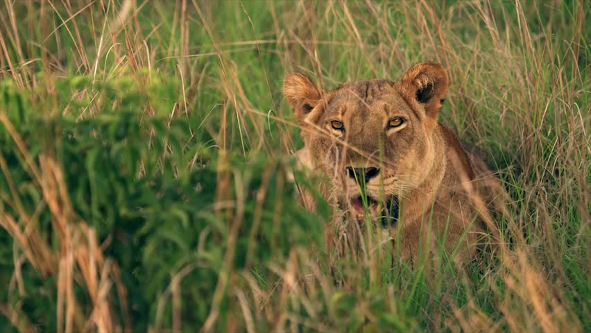 Medium and wide-angle shot of lioness and cubs in Uganda, Africa | Shutterstock HD Video #1018164478
