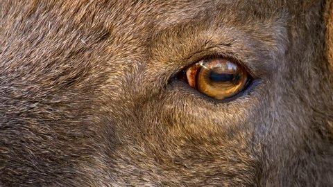 West Caucasian tur (Capra caucasica) eye detail