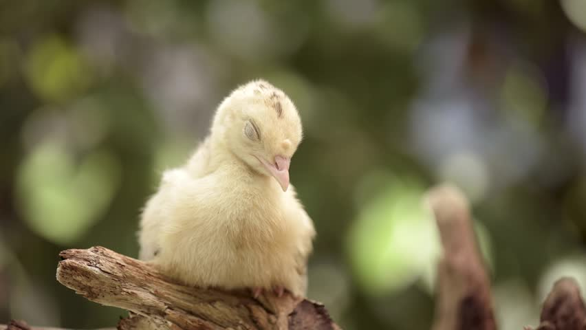 Cute little newborn chicken turkey, on green outdoors background. One young nice big bird.