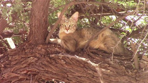 The Africa Wild Cat, Felis silvestris lybica sits and rests high in a camel thorn? tree in the dry and arid Kalahari region of Southern Arica