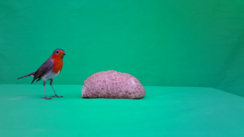 European Robin (Erithacus rubecula or robin redbreasteats) eats bread with Green Screen or Chroma key in a sunny winter day. Documentary about Nature, Birds and Wildlife Full HD Video. | Shutterstock HD Video #1018660708