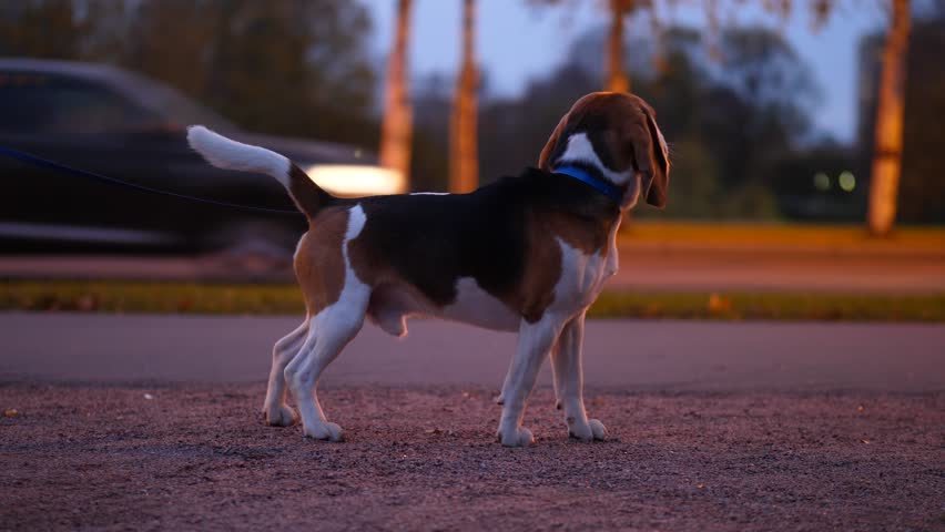 Beagle dog stay on park path against street, dark evening time. Cars race behind, doggy turn head and look straight to camera