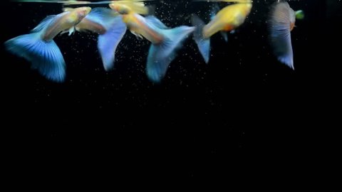 Guppies are eating their food