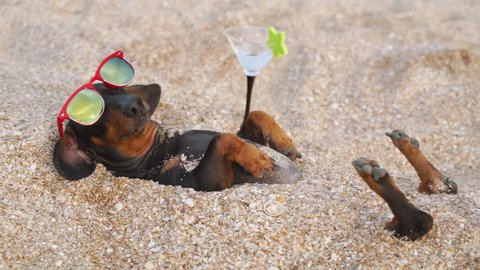 cute dog of dachshund, black and tan, wearing red sunglasses,with a cocktail, having relax and enjoying buried in the sand at the beach ocean on summer vacation holidays
