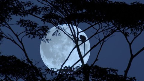 Silhouette of monkey climbing on tree trunks and branches slightly swaying in wind against giant full moon on background. Beautiful scene with night activity in tropical forest. Camera stays still.