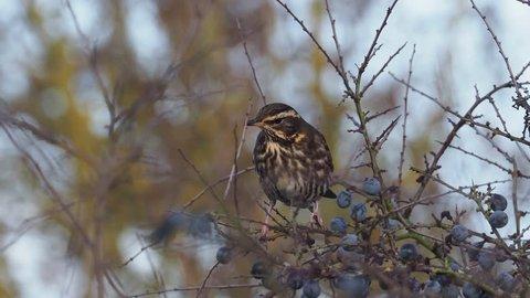 Redwing, Turdus iliacus, Single bird eating sloe berries, Warwickshire,