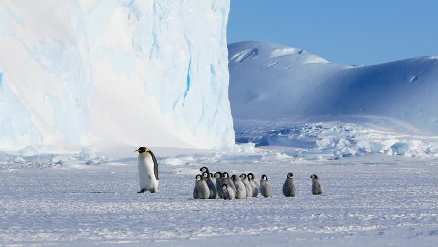 Emperor penguin chick excursion walking by an iceberg | Shutterstock HD Video #1019656948