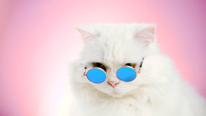 Close portrait of white furry soigne cat in fashion sunglasses. Studio footage. Luxurious domestic kitty in glasses poses on pink background wall. 4k | Shutterstock HD Video #1019868478
