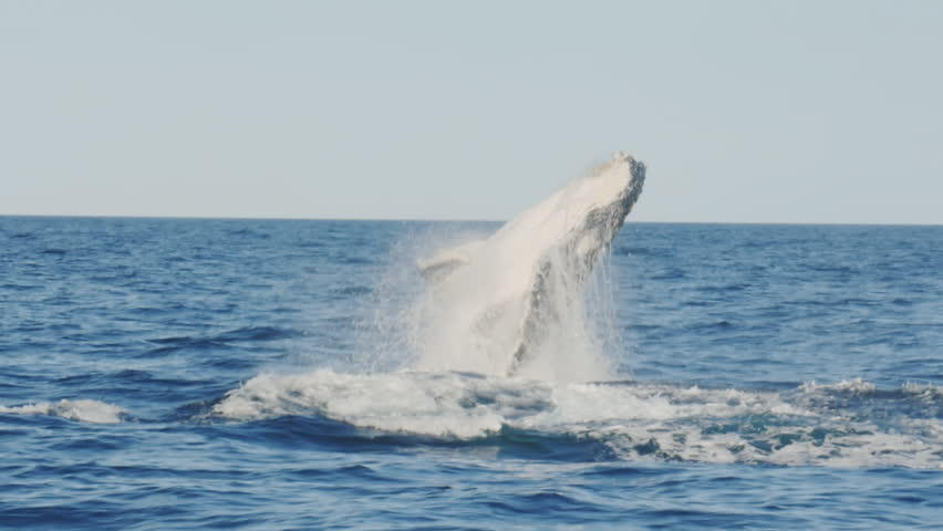 17% slow motion of a young humpback whale emerging from underwater and breaching at merimbula in new south wales, australia