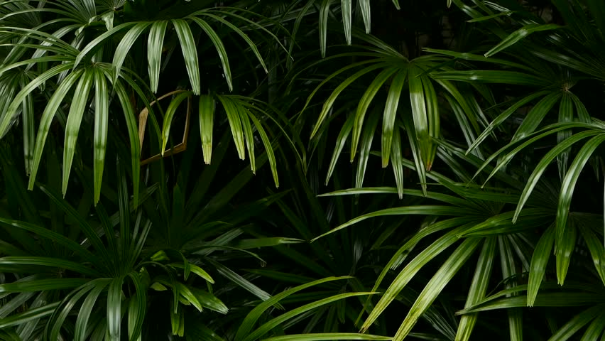 Bright juicy exotic tropical greens in the jungle forest equatorial climate. Background with unusual plant foliage swaying. Natural texture with juicy leaves. Sunlight on the palm leaf. | Shutterstock HD Video #1020267688