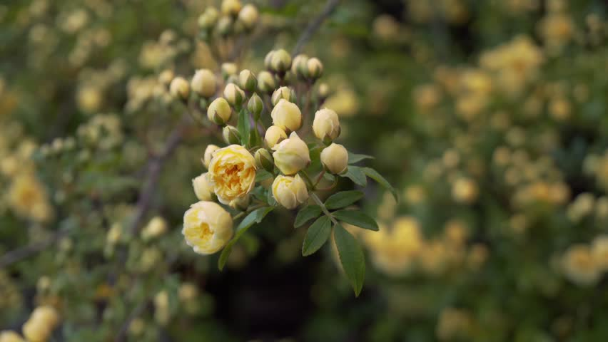 A cluster of beautiful yellow Banksia climbing rose flower buds bloom at dawn.