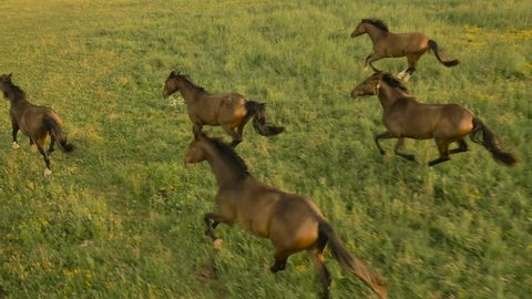 AERIAL: Flying above numerous group of beautiful domestic horses running and playing freely on vast pasture meadow field. Dark bay mares and chestnut geldings cantering on big pasture on horse ranch