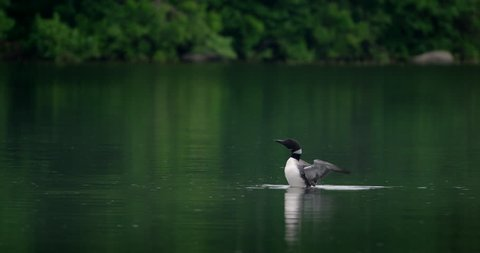 Gorgeous shot of a loon rearing up and flapping its wings on a fresh water lake. 4K slow motion.