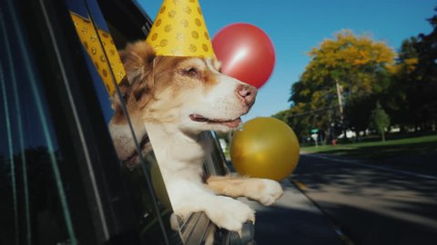 The dog in a celebratory cap with balloons goes to the party. Funny videos with animals