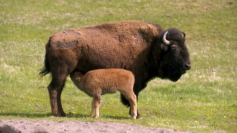 Yellowstone National Park - A young baby bison calf nurses from it??s adult mother Bison Buffalo in a peaceful springtime green meadow.