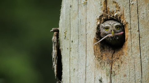 Eurasian Pygmy-owl - little owl- during the mating season in old trees