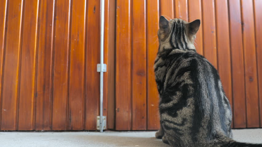 Cat sitting in-front big wooden doors HD. Low angle view of big cat with beautiful black stripes over body sitting in front of wooden doors and waiting. | Shutterstock HD Video #1020749488