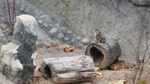 Cute Slender tailed meerkat looks around for danger, running away somewhere. Close up, 4k.