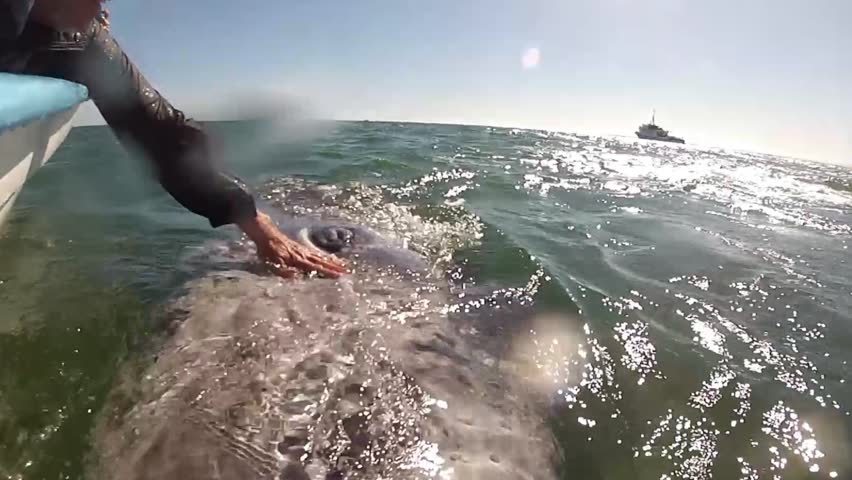 Baby grey whale hug in baja california, mexico | Shutterstock HD Video #1020908128