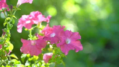 Pink salmon petunia flower. Pink petunias swaying in the breeze. Pink petunia garden flowers closeup being blown in the wind with a green foliage. Pink petunia flawer garden. flower shop 4 K