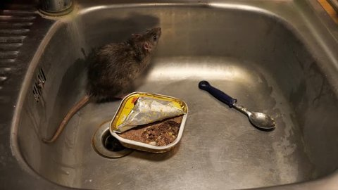 Norway rats in the sink of a kitchen, eating, running,sniffing, several  szenes, with audio