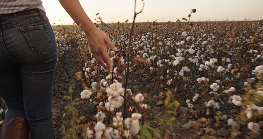 Cotton harvesting. Young indian female harvester walking down the blooming cotton field, and carrying a plate full of fiber on her head - agriculture, manual labor 4k | Shutterstock HD Video #1021483528