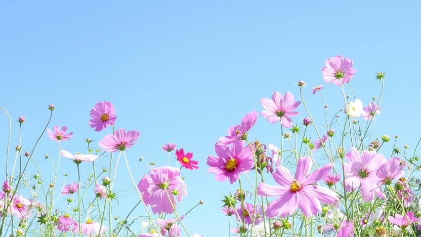 Beautiful Purple Cosmos Flowers Garden Stock Footage Video (100%  Royalty,free) 1021502008