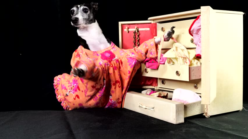 This video shows a cute italian greyhound dog in a dress going through her clothing, looking at the, and throwing them around in her wardrobe dresser on a black studio background.